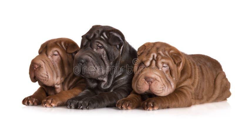 Tre cuccioli shar di pei fotografia stock libera da diritti