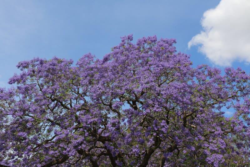 Tre del Jacaranda in fiore immagini stock