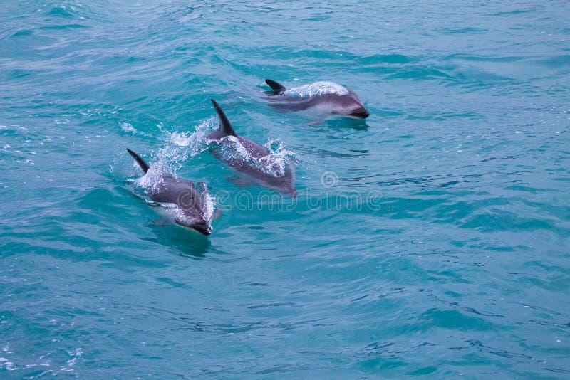 Tre delfini oscuri che nuotano nel mare a Kaikoura fotografia stock libera da diritti