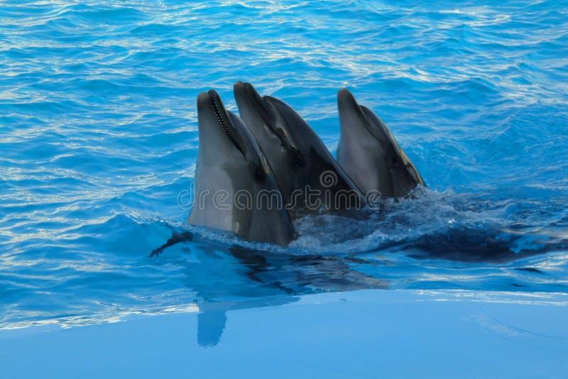 tre delfini stanno nuotando fotografie stock