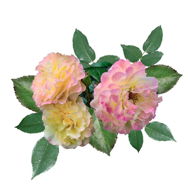 Tre delikata rosa färg-guling rosor med sidor som isoleras på vit royaltyfri fotografi