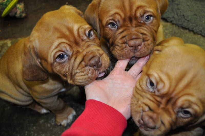 Tre Dogue de Bordeaux Puppies fotografie stock libere da diritti