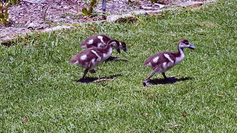Tre ducklings arkivfoto
