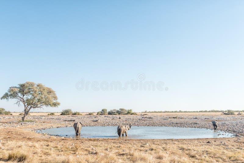 Tre elefanti africani ad un waterhole in Namibia del Nord immagini stock libere da diritti