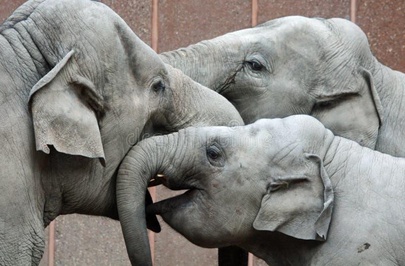 Tre elefanti felici immagine stock
