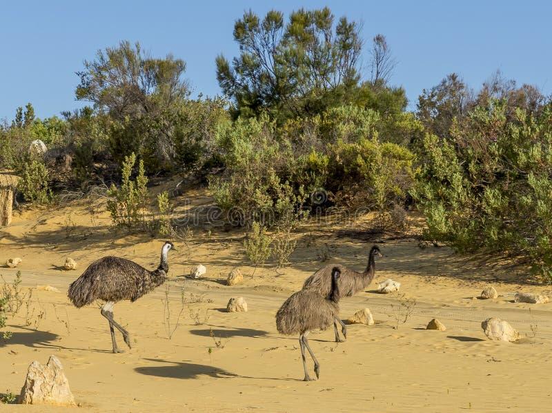 Tre emù che camminano dentro i culmini abbandonano, Australia occidentale fotografie stock libere da diritti