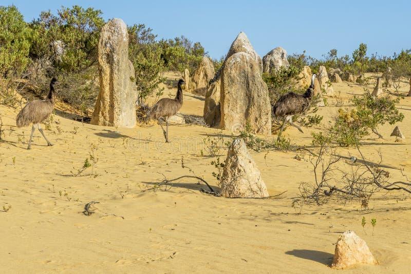 Tre em? che camminano dentro i culmini abbandonano, Australia occidentale fotografie stock libere da diritti