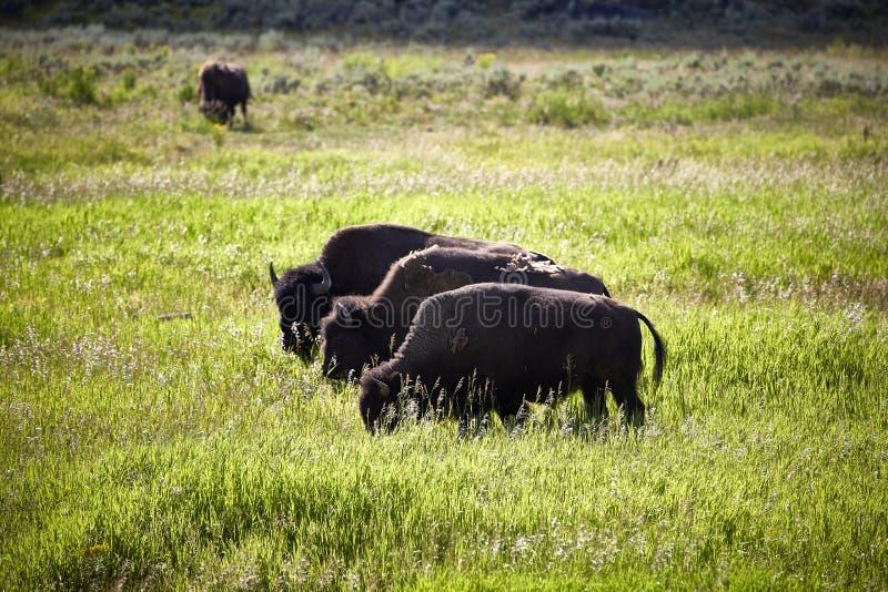 Tre enorma bisonbuffeltjurar som står på ett ängdjurliv arkivfoto