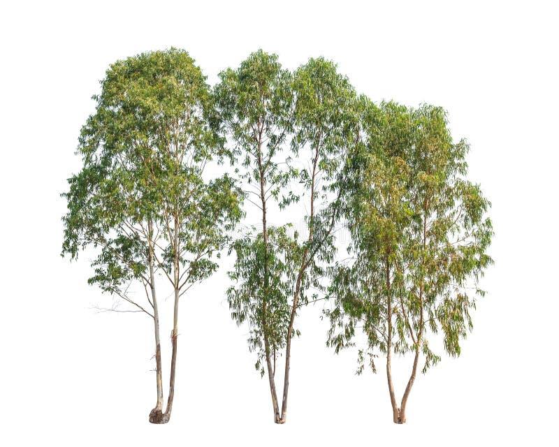 Tre eukalyptusträd, tropiskt träd royaltyfri foto