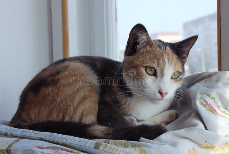 Tre-färg ligger den hem- unga katten på fönsterbrädan royaltyfri bild