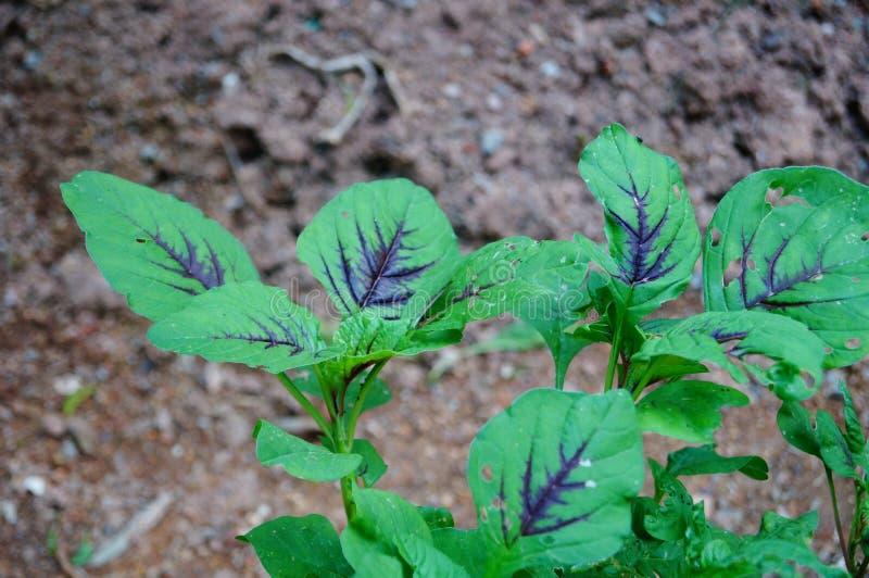 Tre-färgad amaranth arkivfoton