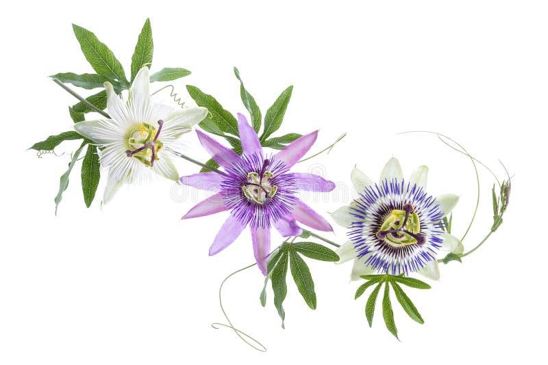 Tre färgade passionblommalilor, vit, blått, att hänga som isolerades på vit royaltyfri bild
