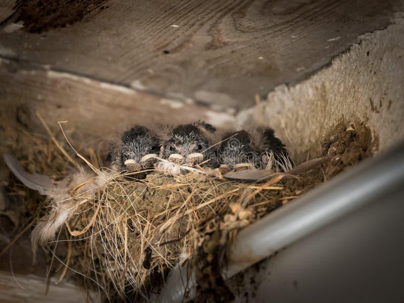 Tre fågelungar för ladugårdsvala som sitter i ett rede och väntar för att matas royaltyfria bilder