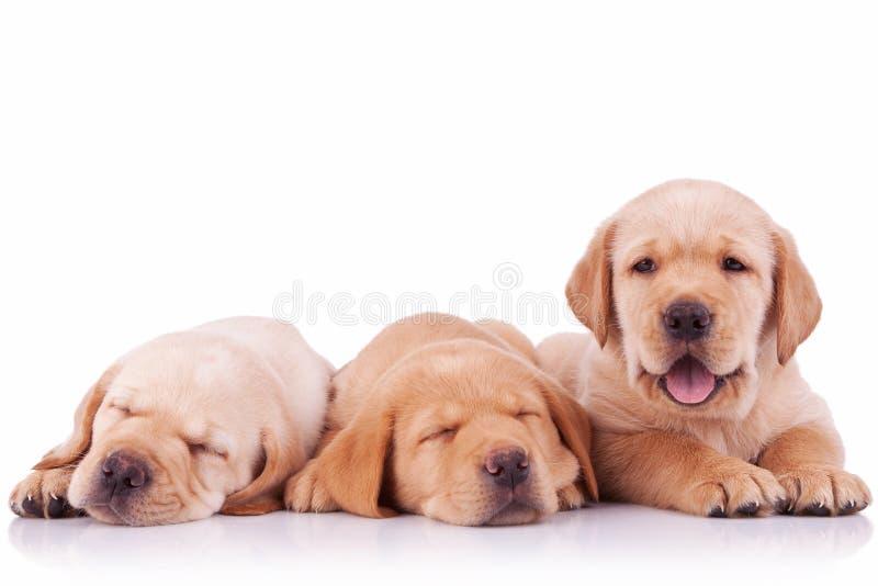 Tre förtjusande hundkapplöpning för valp för labrador retriever arkivbild