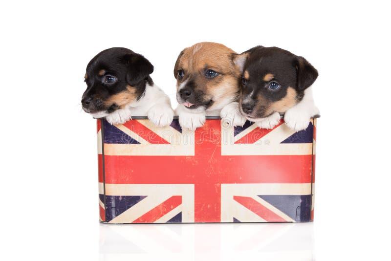 Tre förtjusande valpar för stålarrussell terrier i en ask royaltyfri bild