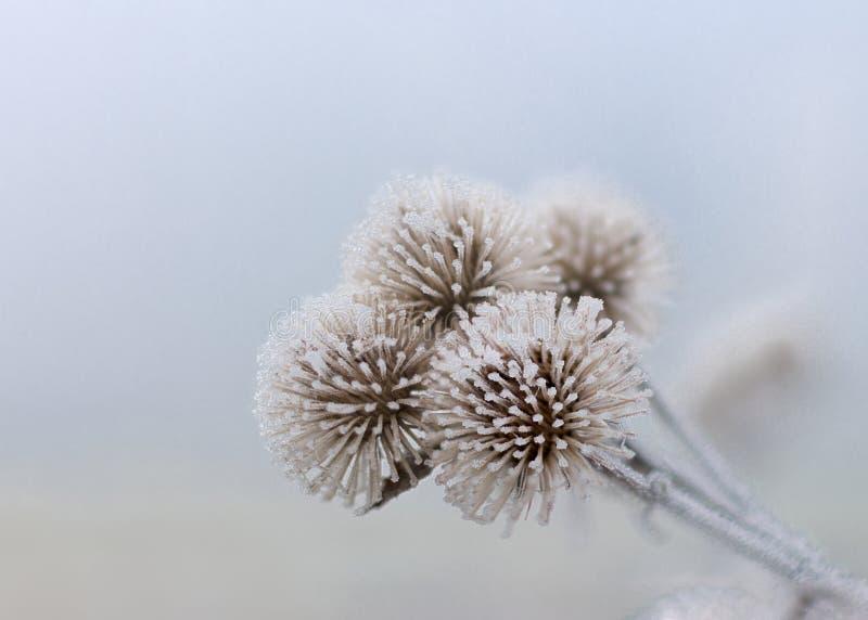 Tre fiori congelati di gennaio fotografia stock libera da diritti