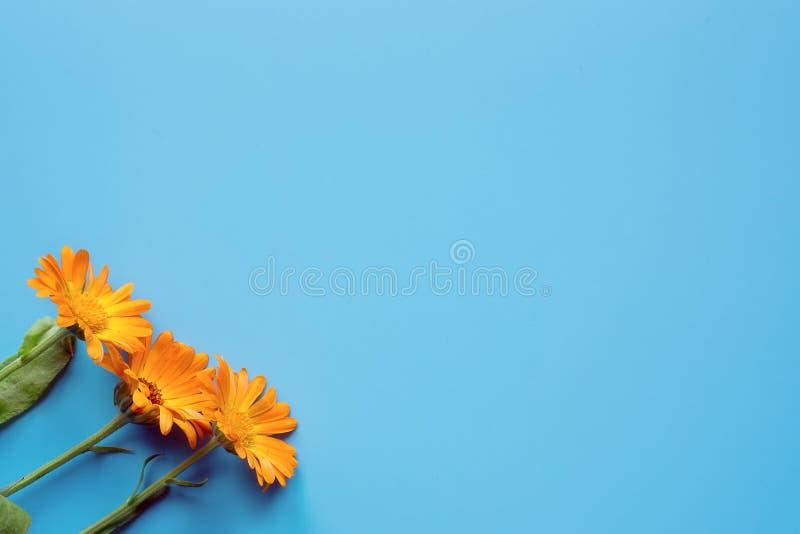 Tre fiori del tagete su fondo blu fotografia stock