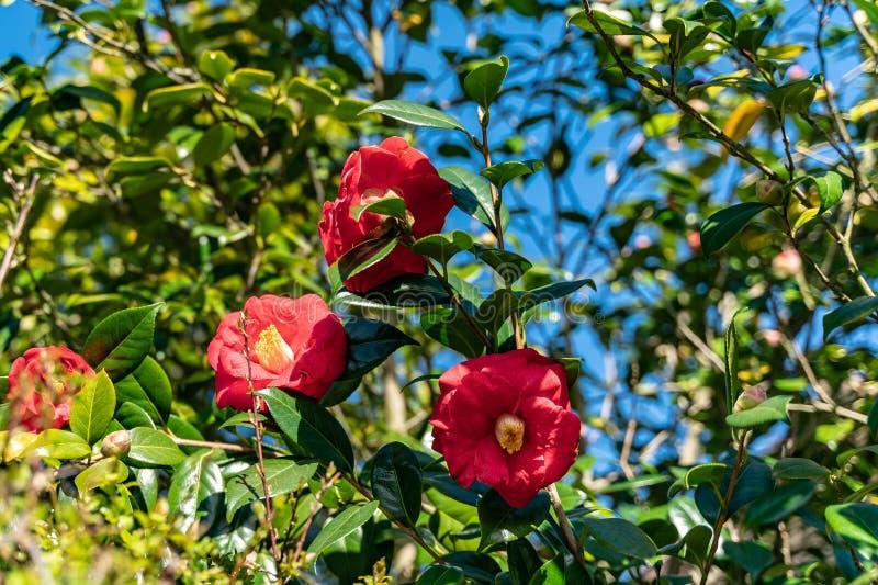 Tre fiori della molla che fioriscono in un giardino, fuoco selettivo fotografie stock