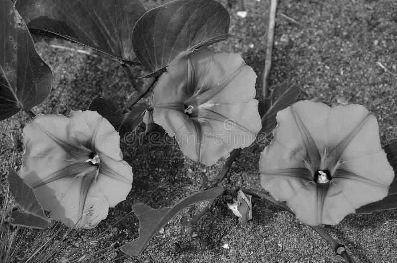Tre fiori selvaggi si sviluppano in spiaggia tropicale immagine stock