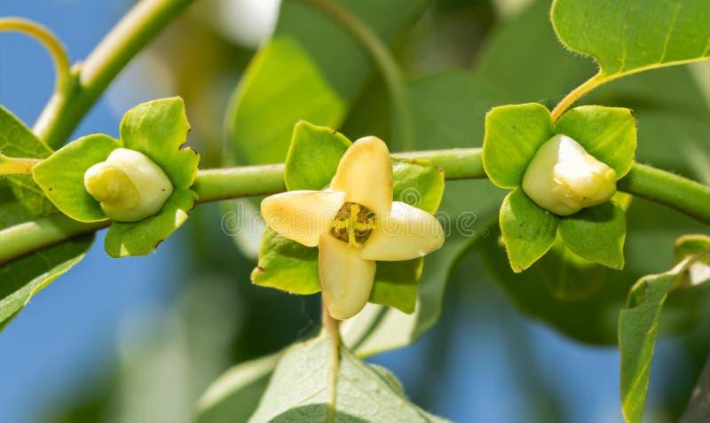 Tre fioriture selvagge del cachi, una aperta e due che germogliano fotografia stock libera da diritti
