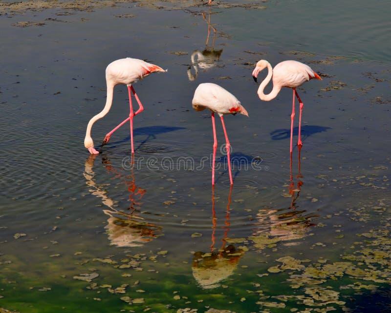 Tre flamingo reflekterade i vatten som skapar den runda vattenvågen arkivbilder