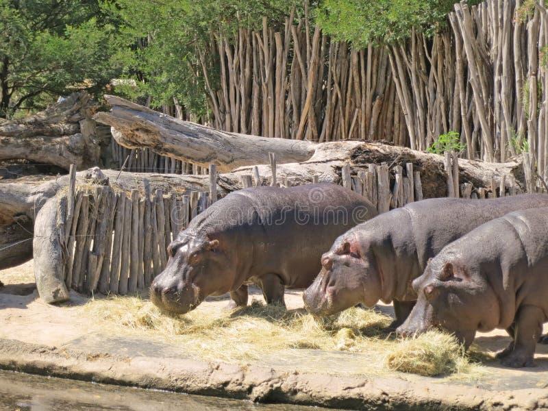 Tre flodhästar som äter gräs arkivbilder
