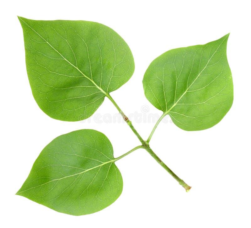 Tre fogli verdi del lillà fotografia stock