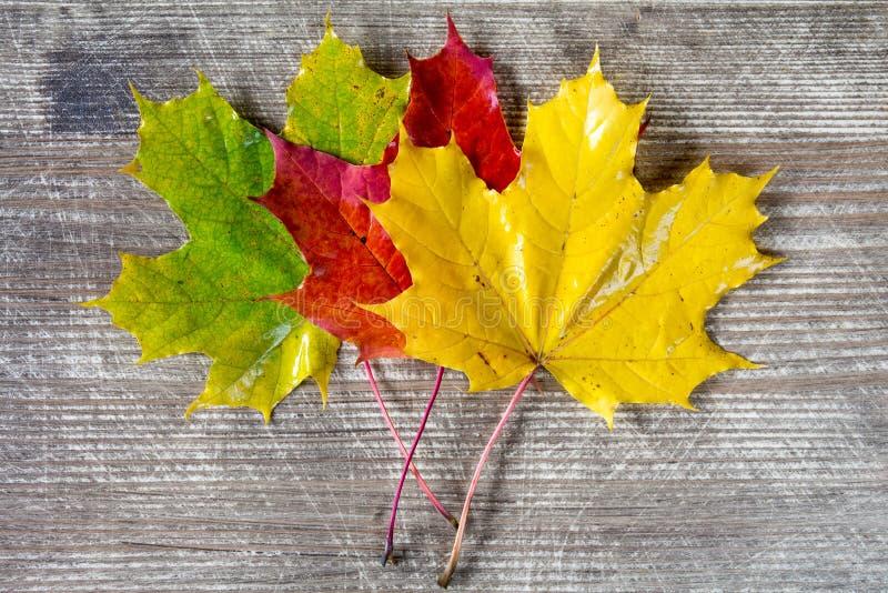 Tre foglie colorate di caduta fotografie stock