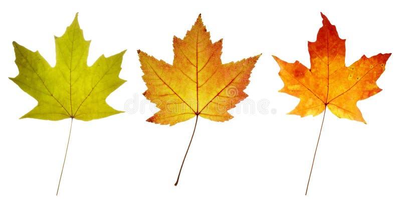Tre foglie di acero variopinte fotografia stock libera da diritti