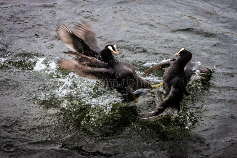Tre folaghe che combattono nell'acqua fotografia stock libera da diritti
