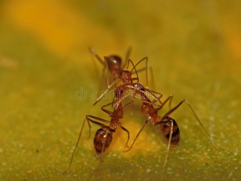 Tre formiche rosse che comunicano fotografie stock libere da diritti