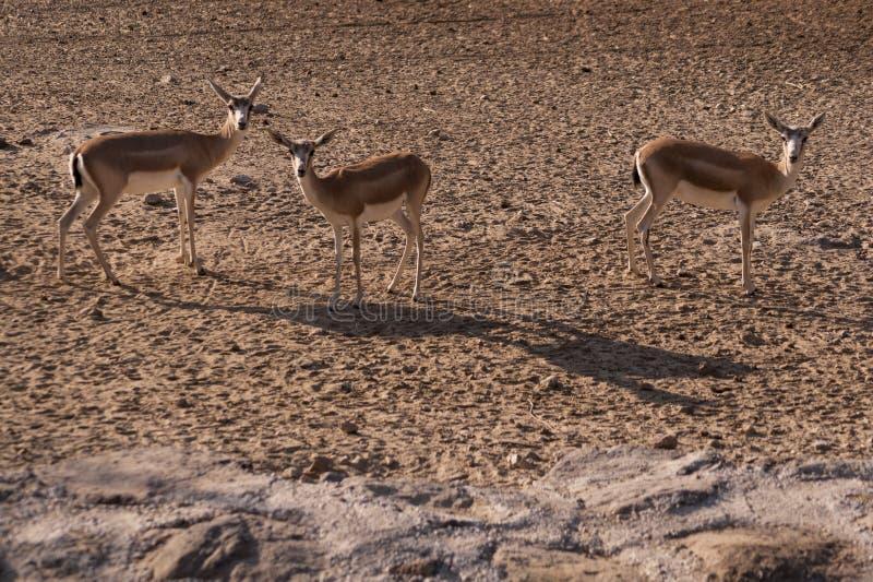 Tre gaseller i nationalpark arkivbilder