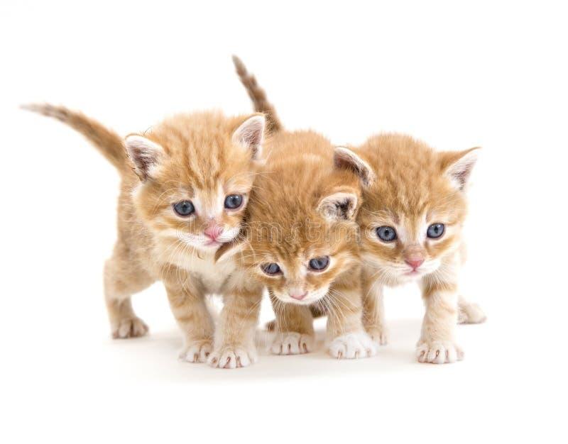 Tre gattini fotografia stock