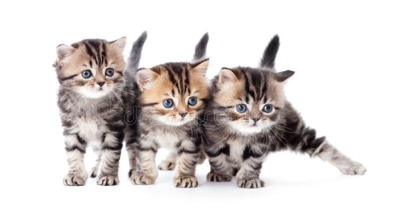 Tre gattini hanno barrato il tabby isolato fotografie stock libere da diritti