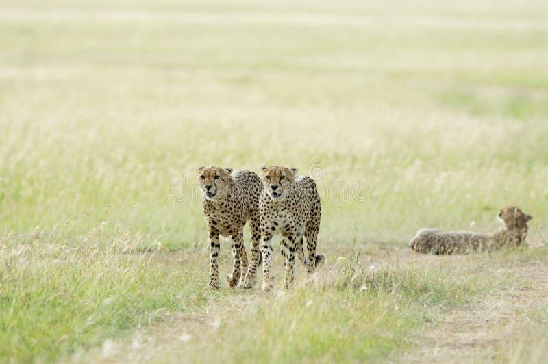 Tre geparder på masaien Mara Game Reserve, Kenya royaltyfria foton