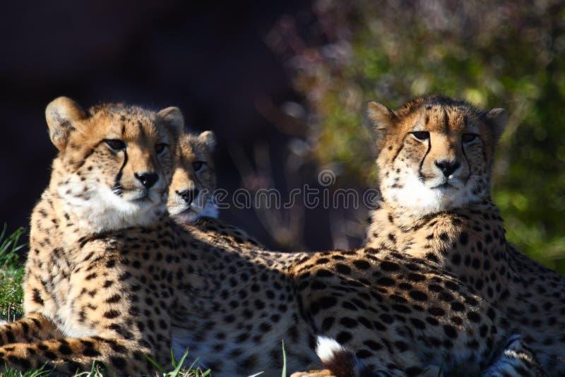 Tre ghepardi immagine stock