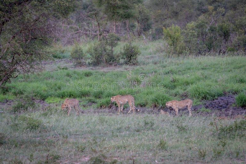 Tre ghepardi che camminano in una linea di drenaggio immagini stock libere da diritti