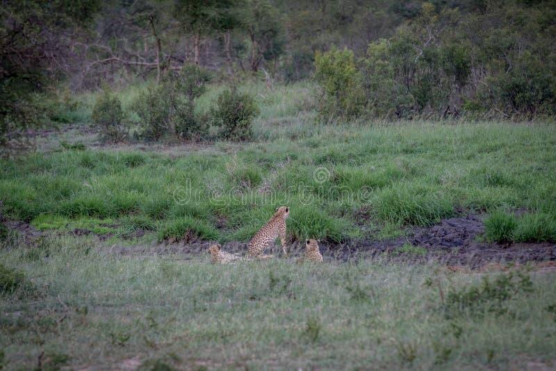 Tre ghepardi che si nascondono in una linea di drenaggio fotografia stock