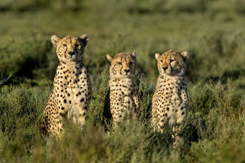 Tre ghepardi che si siedono, Serengeti fotografia stock libera da diritti