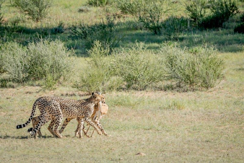 Tre ghepardi su un'uccisione dell'antilope saltante fotografie stock