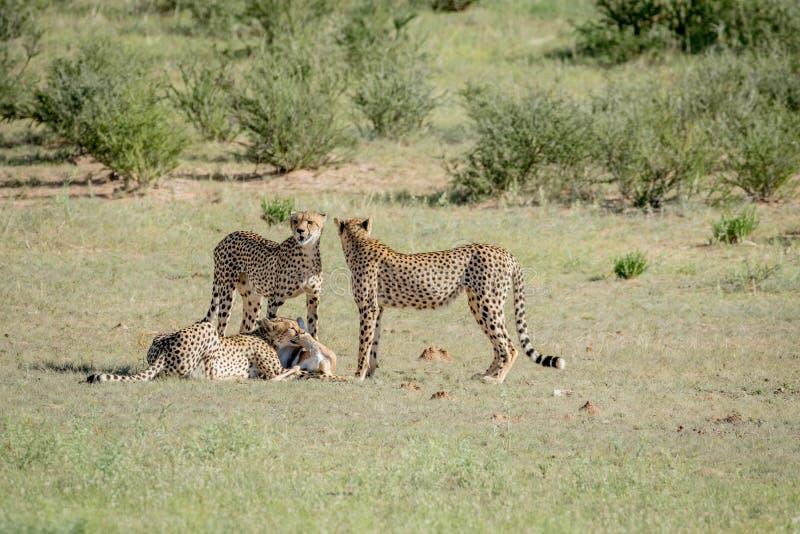 Tre ghepardi su un'uccisione dell'antilope saltante fotografia stock libera da diritti
