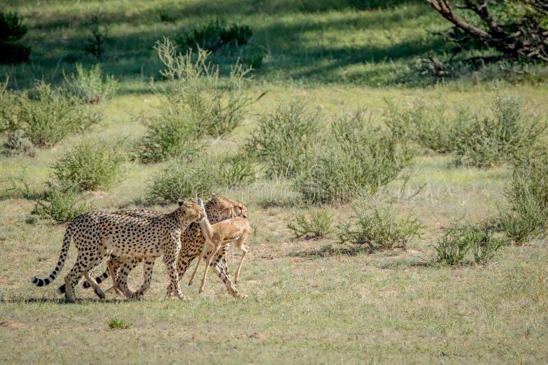 Tre ghepardi su un'uccisione dell'antilope saltante fotografia stock
