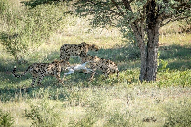 Tre ghepardi su un'uccisione dell'antilope saltante immagine stock