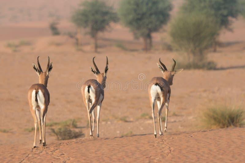 Tre giovani gazzelle arabe durante le ore di primo mattino La Doubai, UAE immagine stock libera da diritti