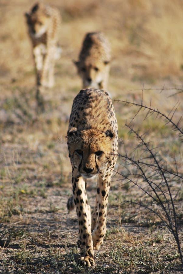Tre giovani ghepardi che passeggiano in Namibia fotografia stock