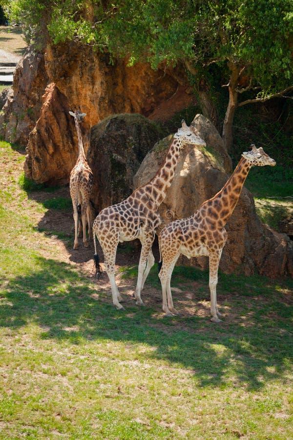 Tre giraff i en varm dag royaltyfria foton