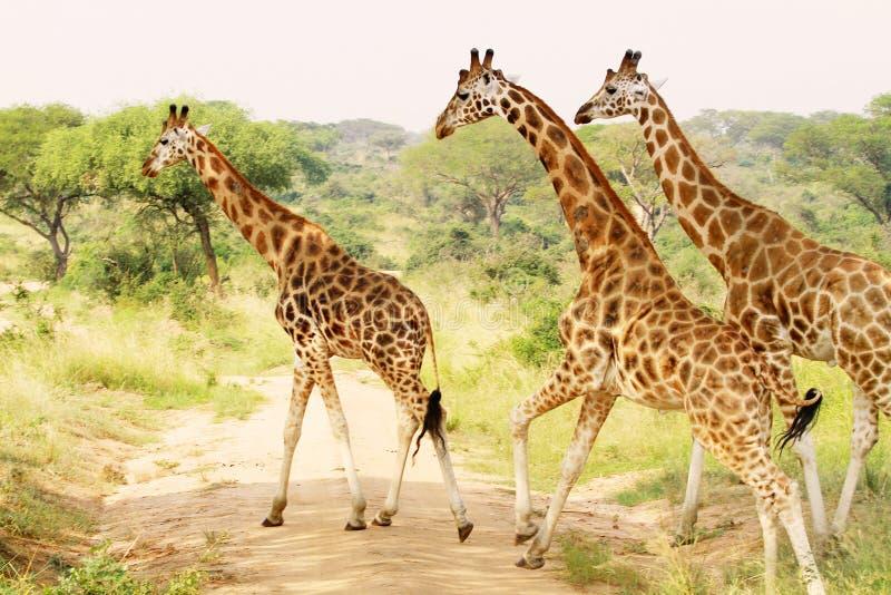 Tre giraff som korsar Savannahslättarna royaltyfria foton