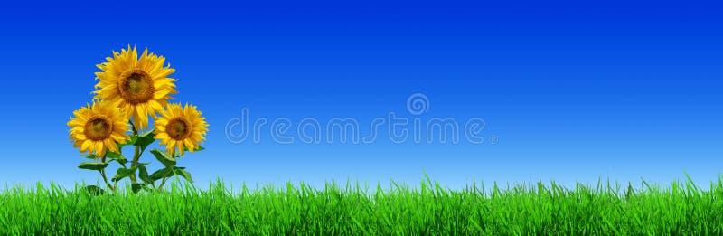 Tre girasoli gialli sul campo verde - panorama immagini stock