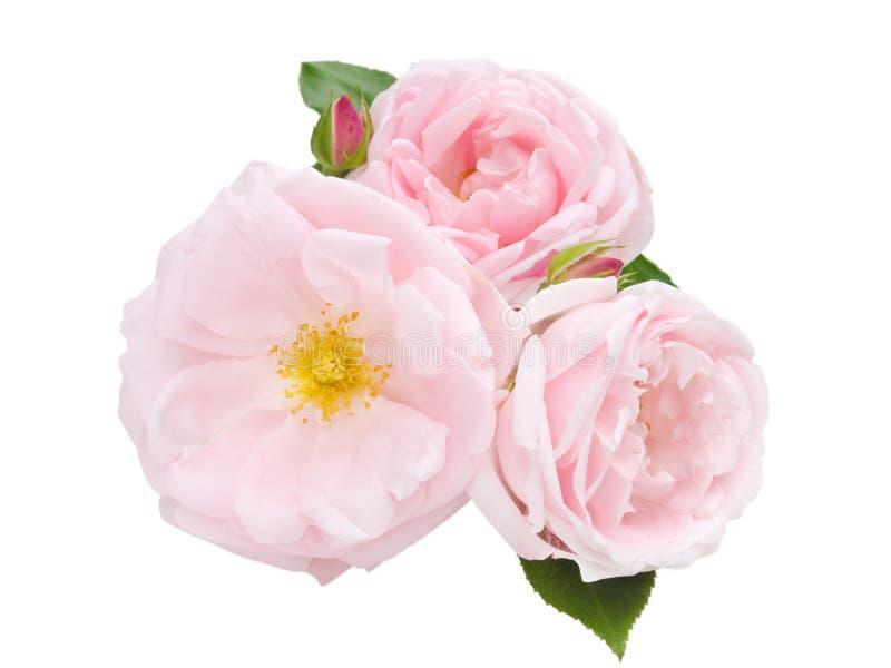Tre gräns - rosa rosor som isoleras på vit arkivbild