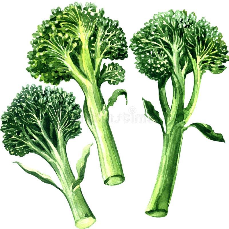 Tre grön bimi, broccoli som isoleras, på vit bakgrund stock illustrationer
